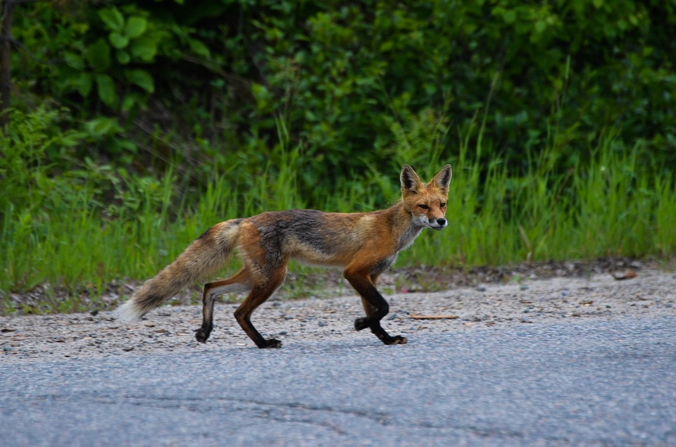 Traveling Fox on a Road